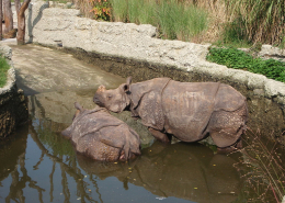 Two Rhinos at the Basel Zoo bath in 2015